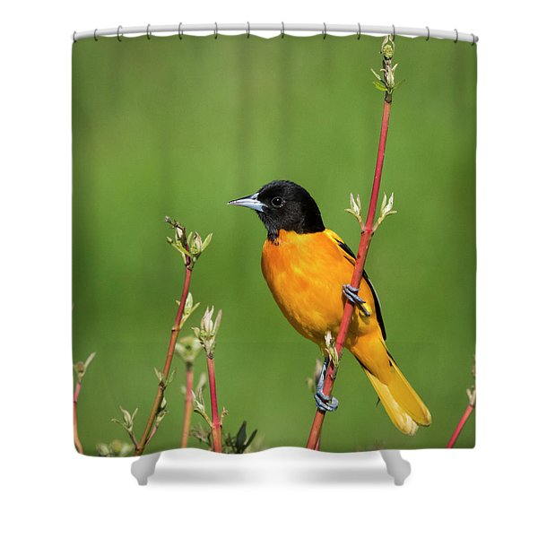 Male Baltimore Oriole Posing Shower Curtain