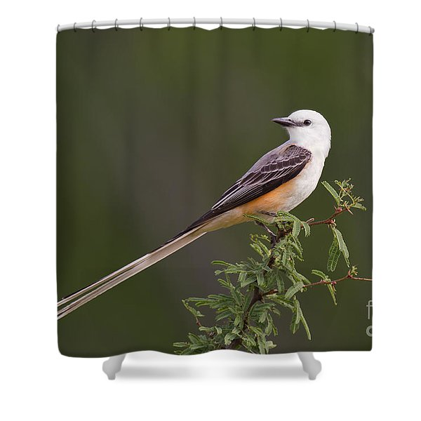 Male Scissor-tail Flycatcher Tyrannus Forficatus Wild Texas Shower Curtain