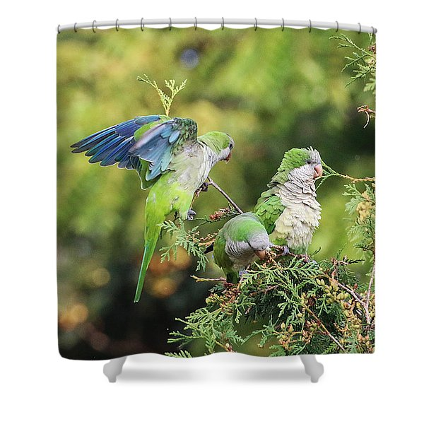 Shower Curtain featuring the photograph Monk Parakeets Feeding On Evergreens 2 by William Selander