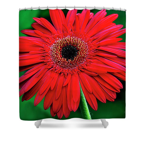 Mother's Day Gerbera Daisy Shower Curtain