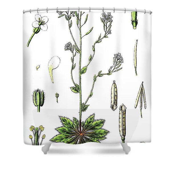 Mouse-ear Cress Or Arabidopsis Shower Curtain