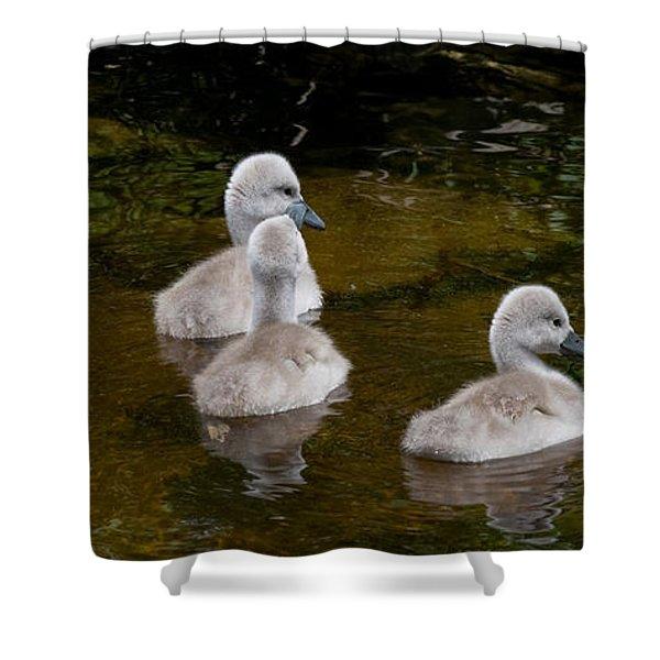 Mute Swan Babes Shower Curtain
