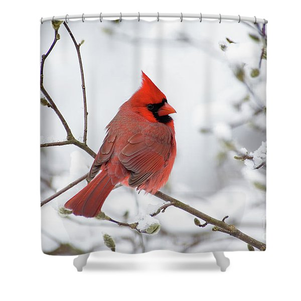 Northern Cardinal - D001540 Shower Curtain