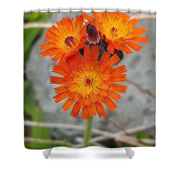 Orange Hawkweed Shower Curtain