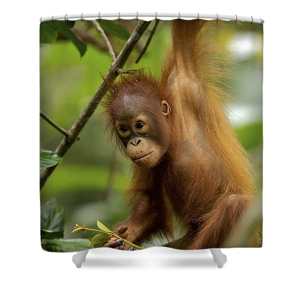Orangutan Pongo Pygmaeus Baby Swinging Shower Curtain