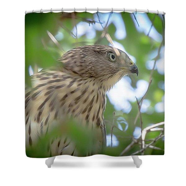 Red-shouldered Hawk Fledgling 1 Shower Curtain