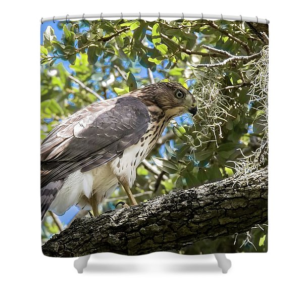 Red-shouldered Hawk Fledgling - 4 Shower Curtain
