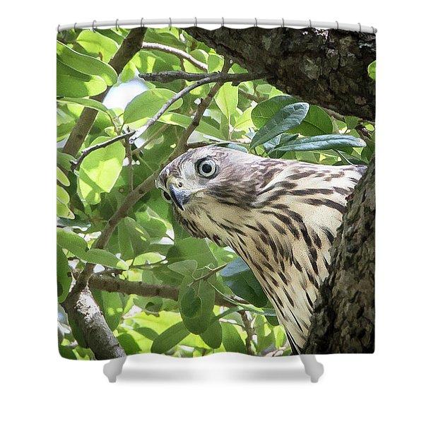 Red-shouldered Hawk Fledgling - 5 Shower Curtain