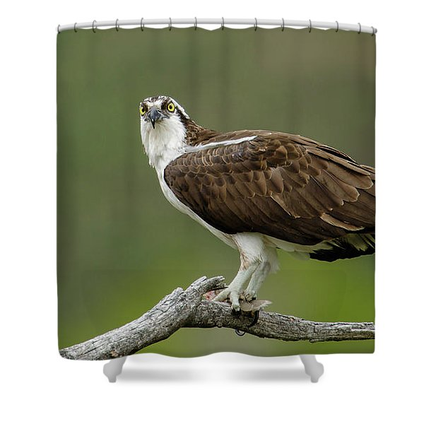 Shower Curtain featuring the photograph Osprey by Ronnie and Frances Howard