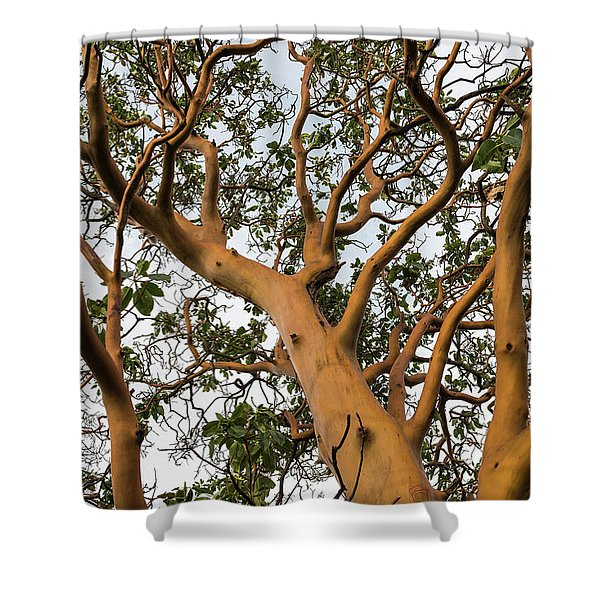 Pacific Madrone Trees Shower Curtain