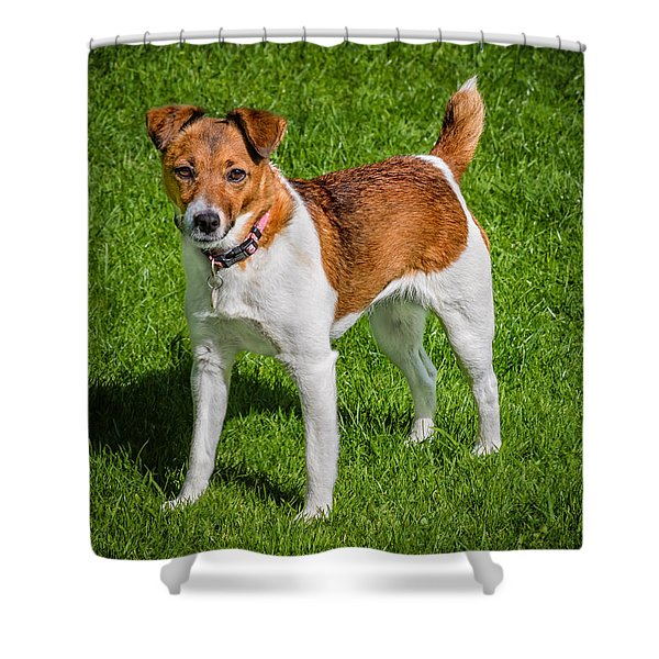 Shower Curtain featuring the photograph Parson Jack Russell by Nick Bywater