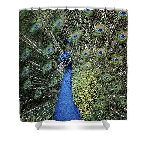 Peacock Displaying Closeup Shower Curtain