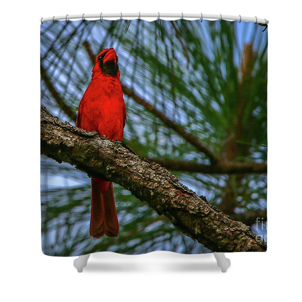 Shower Curtain featuring the photograph Perched Cardinal by Tom Claud