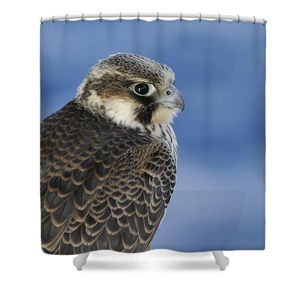 Peregrine Falcon Juvenile Close Up Shower Curtain