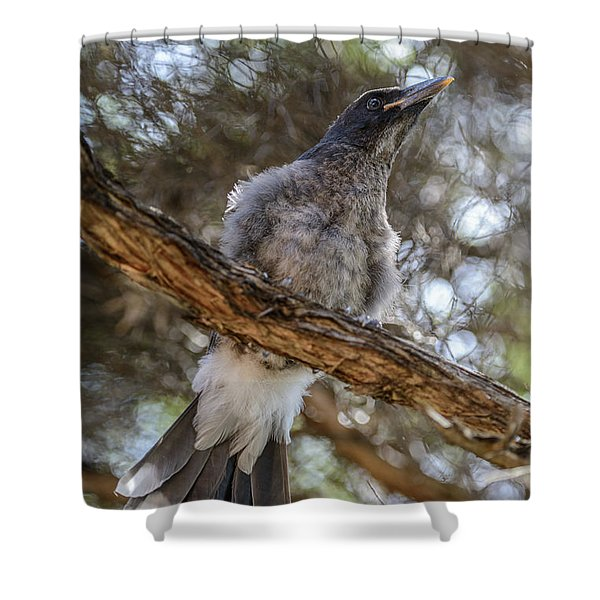 Pied Currawong Chick 1 Shower Curtain