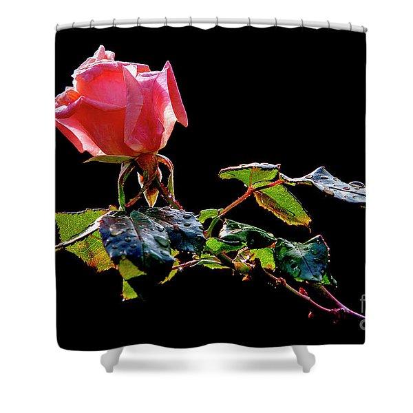 Pink Rose On Black Background Shower Curtain