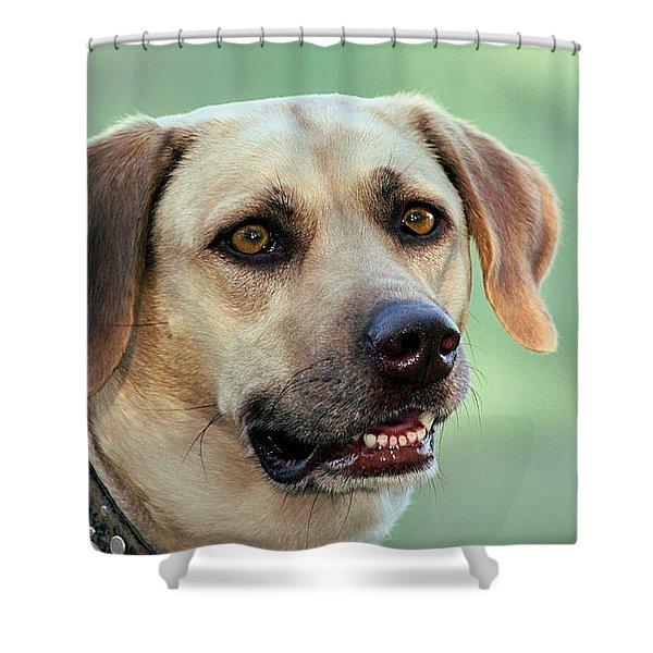 Portrait Of A Yellow Labrador Retriever Shower Curtain