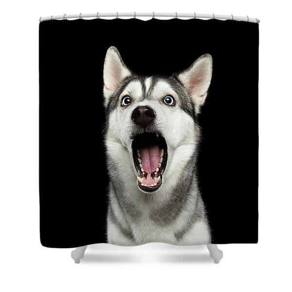 Portrait Of Amazement Siberian Husky Shower Curtain