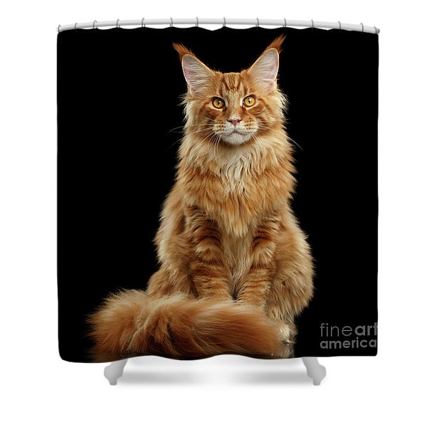 Portrait Of Ginger Maine Coon Cat Isolated On Black Background Shower Curtain