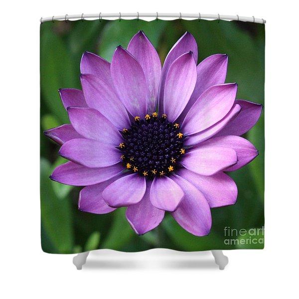 Purple Daisy Square Shower Curtain