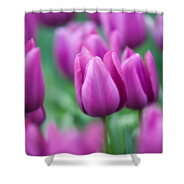 Purple Tulips Of Keukenhof Shower Curtain