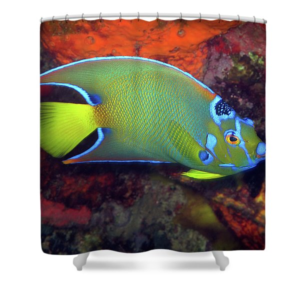 Queen Angelfish, U. S. Virgin Islands 2 Shower Curtain