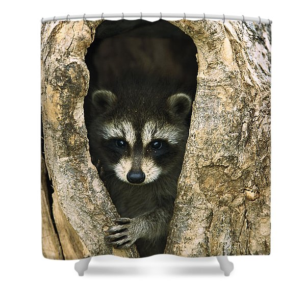 Raccoon Procyon Lotor Baby Peering Shower Curtain