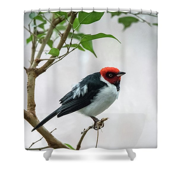 Red Capped Cardinal 2 Shower Curtain
