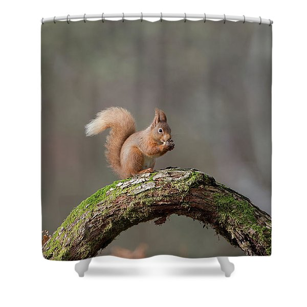 Red Squirrel Eating A Hazelnut Shower Curtain
