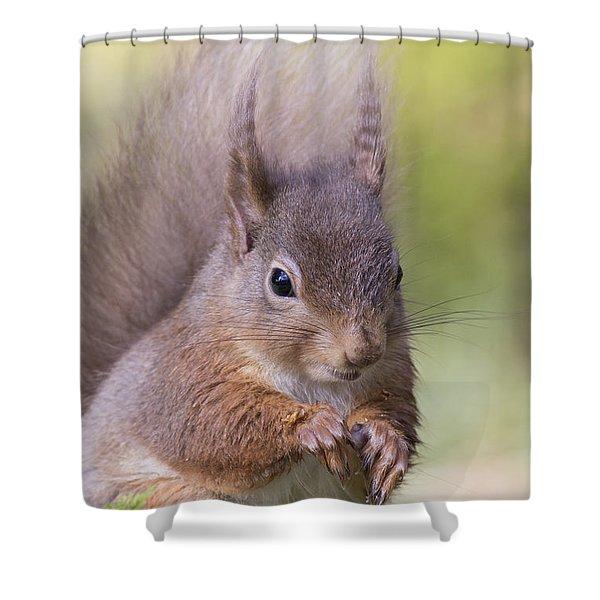 Red Squirrel - Scottish Highlands #1 Shower Curtain