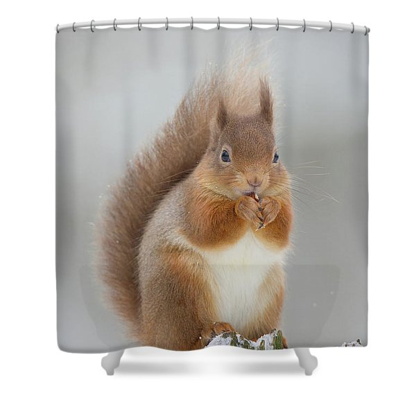 Red Squirrel Nibbling A Hazelnut In The Snow Shower Curtain