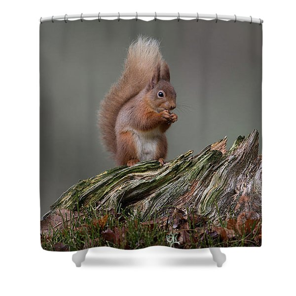 Red Squirrel Nibbling A Nut Shower Curtain