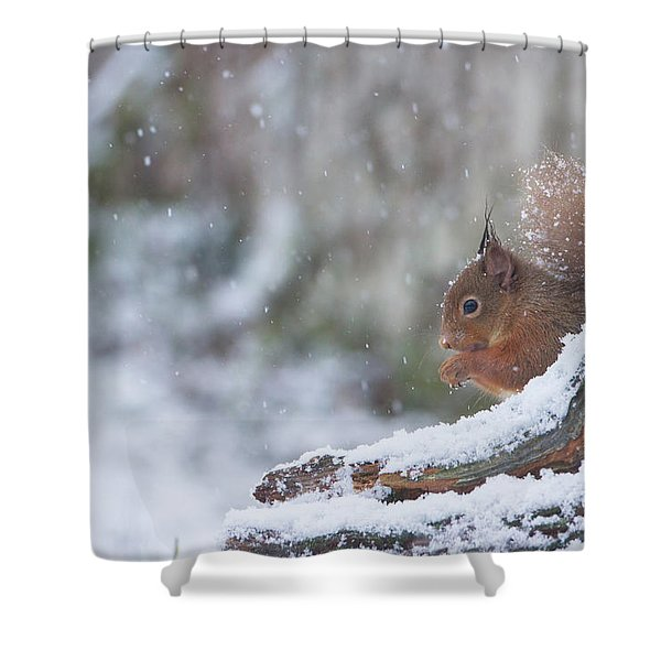 Red Squirrel On Snowy Stump Shower Curtain