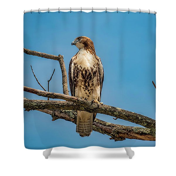 Red Tail Hawk Perched Shower Curtain