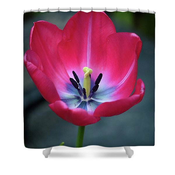 Red Tulip Blossom With Stamen And Petals And Pistil Shower Curtain