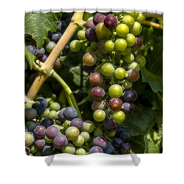 Red Wine Grape Colors In The Sun Shower Curtain