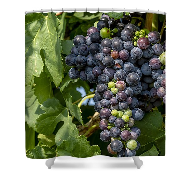 Red Wine Grapes On The Vine Shower Curtain