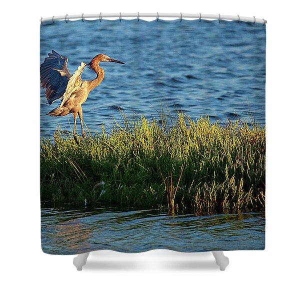 Reddish Egret Landing Shower Curtain
