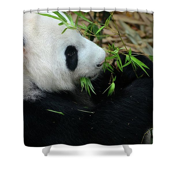 Relaxed Panda Bear Eats With Green Leaves In Mouth Shower Curtain