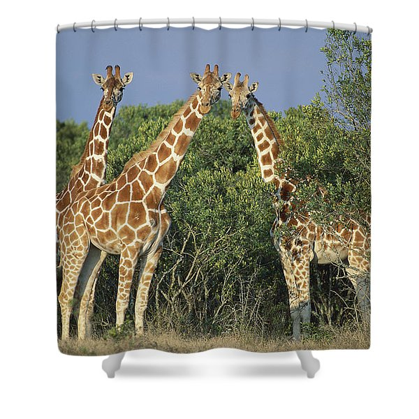 Reticulated Giraffe Trio Shower Curtain