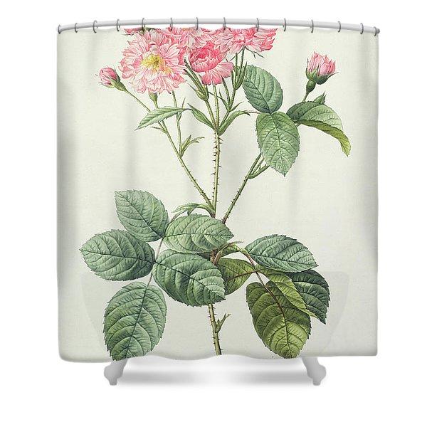 Rosa Centifolia Caryophyllea Shower Curtain
