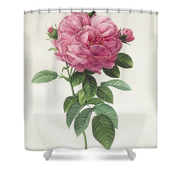 Rosa Gallica Flore Giganteo Shower Curtain
