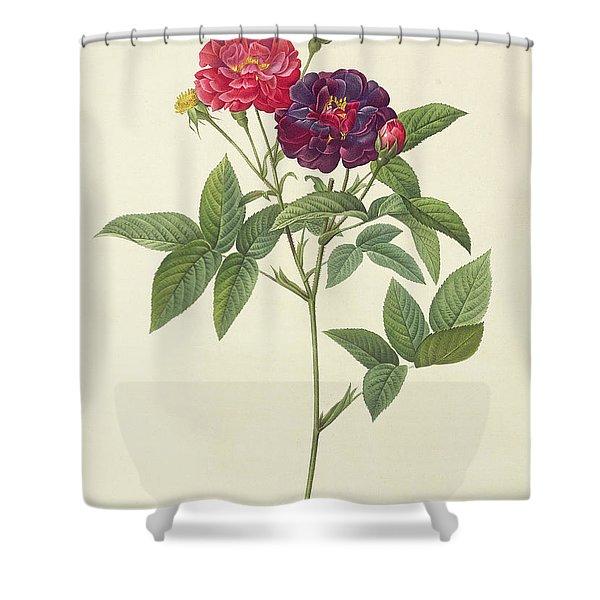 Rosa Gallica Purpurea Velutina Shower Curtain