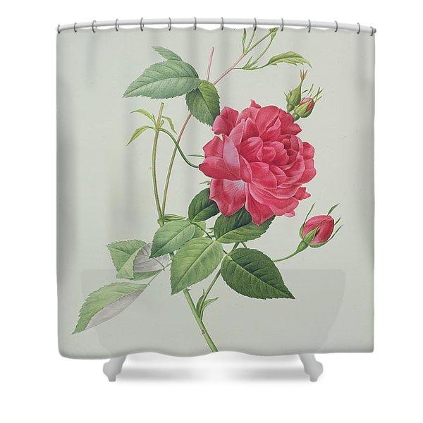 Rosa Indica Cruenta Shower Curtain