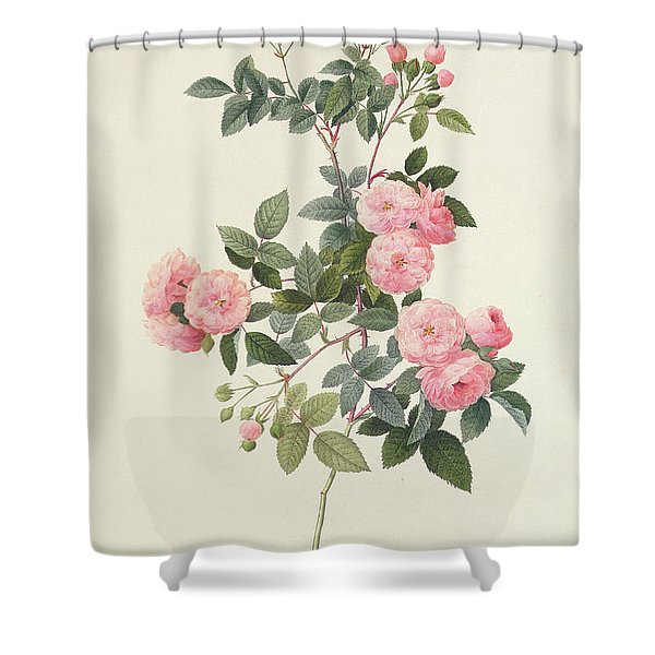 Rosa Multiflora Carnea Shower Curtain