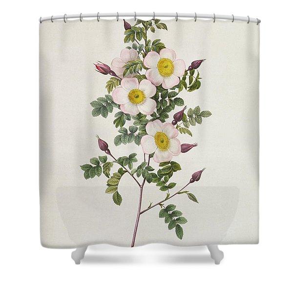 Rosa Pimpinelli Folia Inermis Shower Curtain