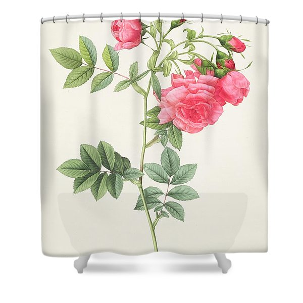 Rosa Pimpinellifolia Flore Variegato  Shower Curtain