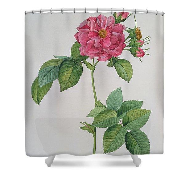 Rosa Turbinata Shower Curtain