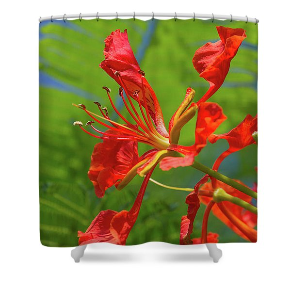 Royal Poinciana Flower Shower Curtain