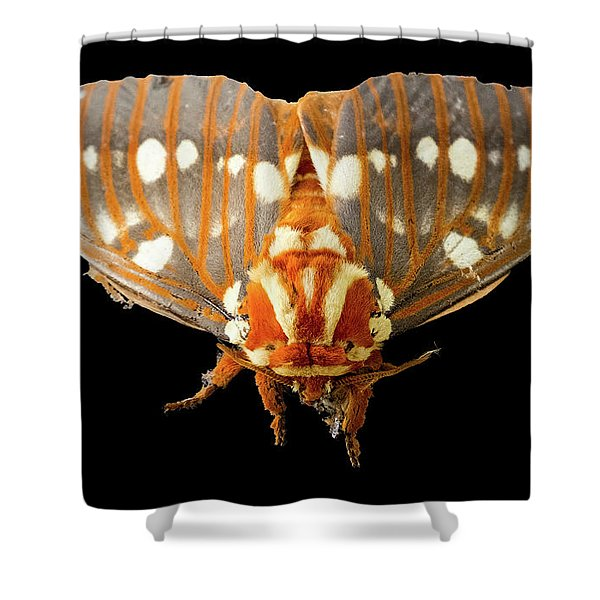 Royal Walnut Moth On Black Shower Curtain